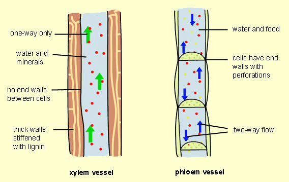 differences between xylem and phloem vessels