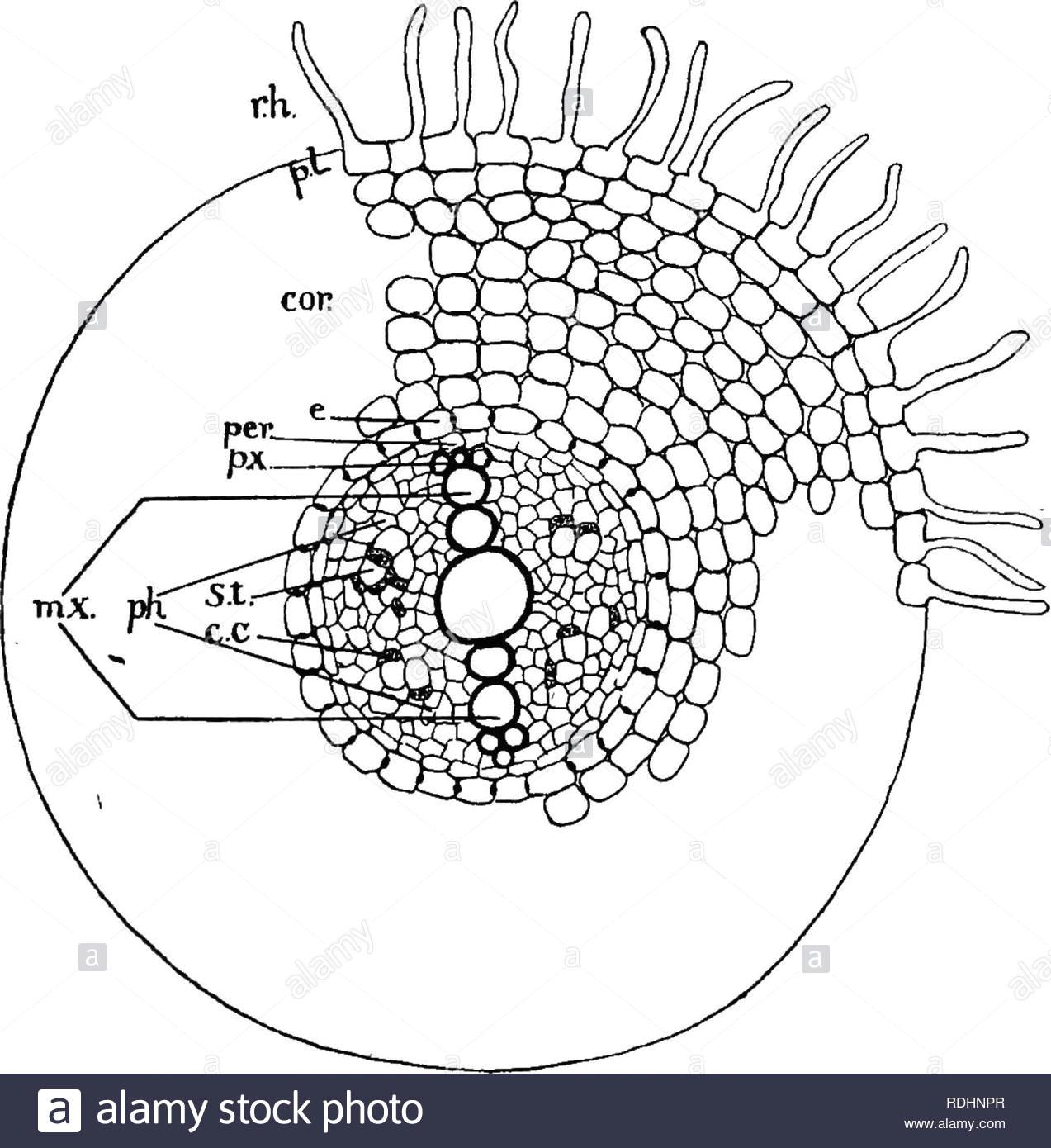 elemente der pflanzenbiologie pflanzenphysiologie 292 die wurzel ein push nach oben und nach