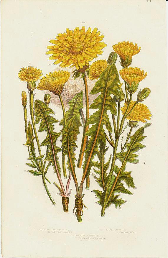 1870 botanical original antique print yellow by modernantiquary vintage botanical prints botanical drawings antique