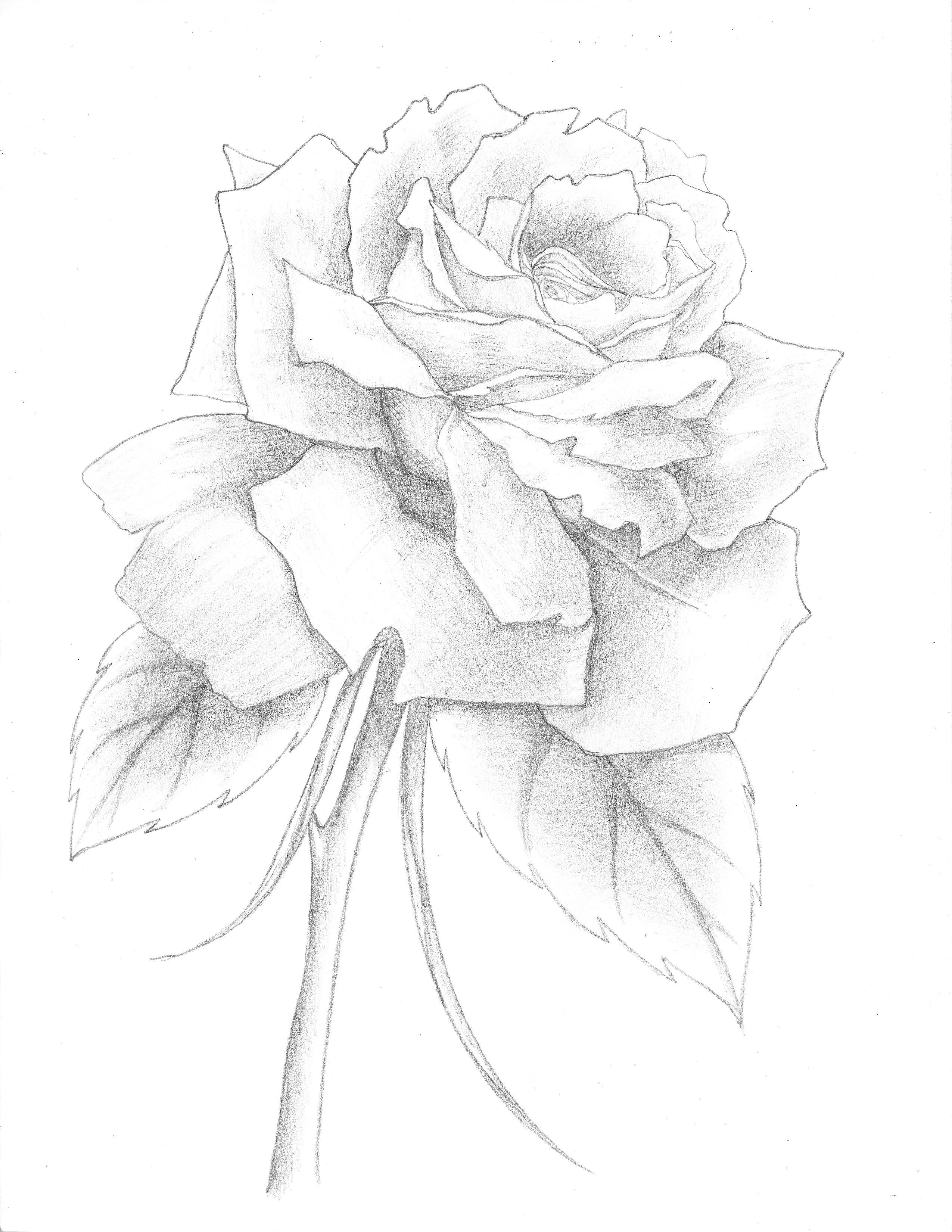 a delicate beautiful rose