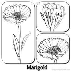 marigold outline lineart flowers calendula flower pictures 3 stylised marigold drawings with the label