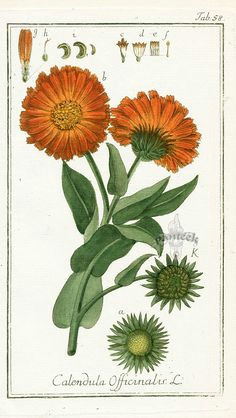 calendula officinalis botanical prints botanical drawings birth flowers calendula marigold tattoo