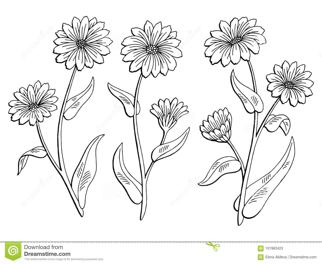Drawings Of Calendula Flowers Calendula Flower Graphic Black White isolated Sketch Illustration