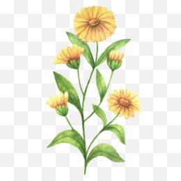 calendula png calendula transparent clipart free download nature republic calendula officinalis brand