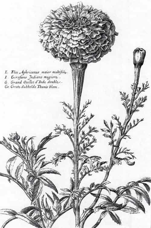 marigold botanical illustration