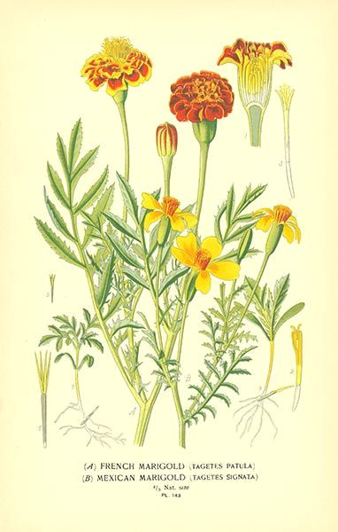 marigold flower drawing mexican marigold tagetes patula and signata from favourite flowers