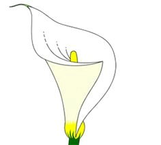 Drawings Of Calla Lily Flowers 322 Best Calla Lily Art Images In 2019 Calla Lilies Calla Lillies