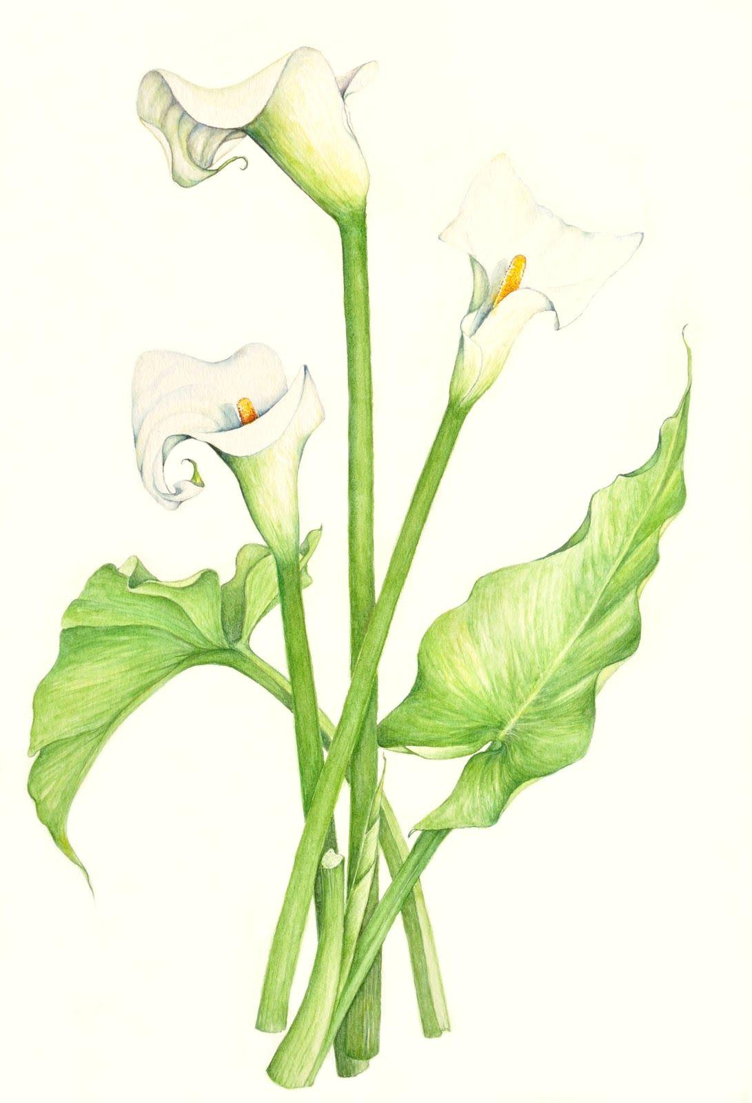 calla lily leaves google search more