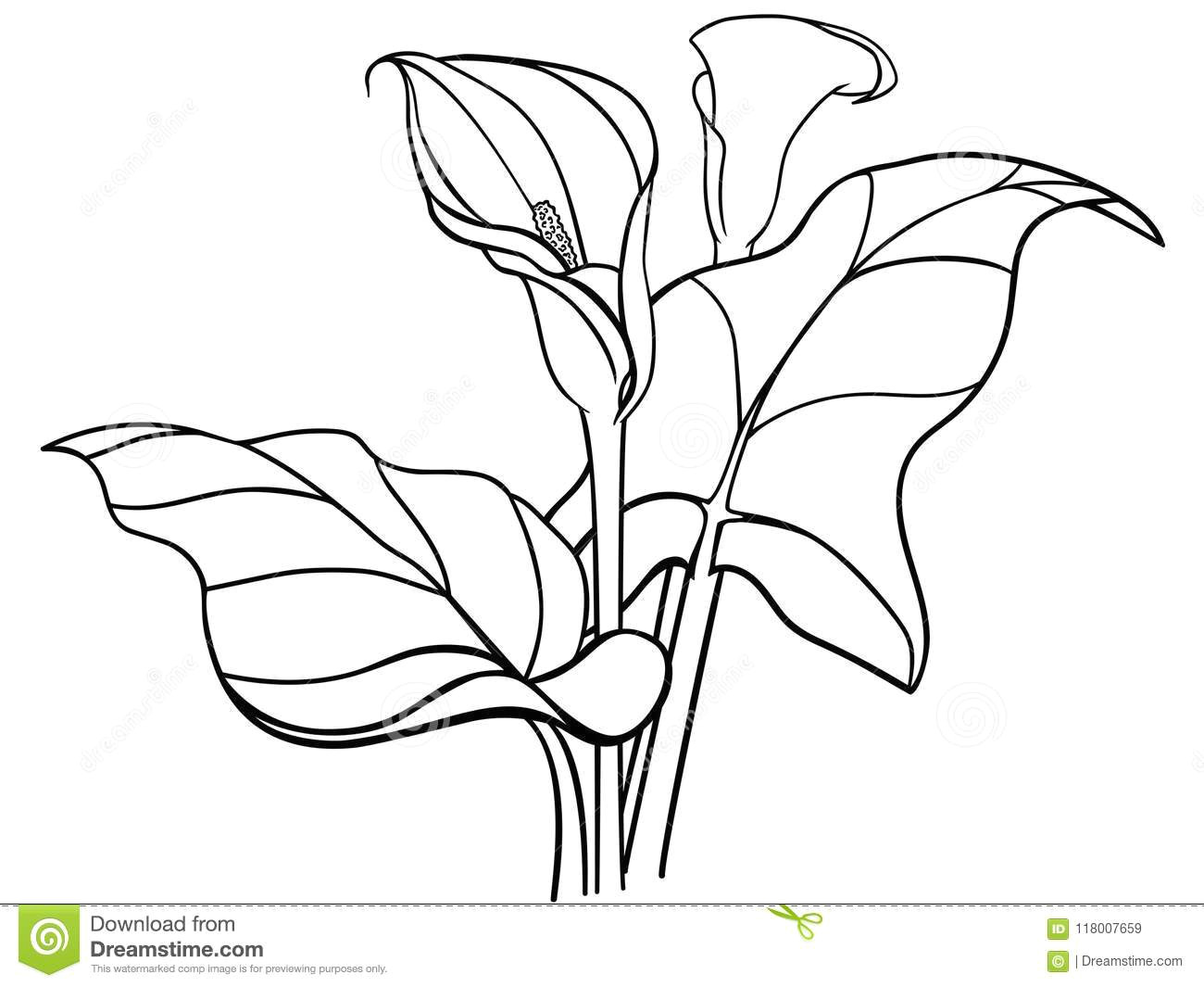 callas flowers with leaves bouquet white callas lilies line drawing bouquet of two callas with leaves