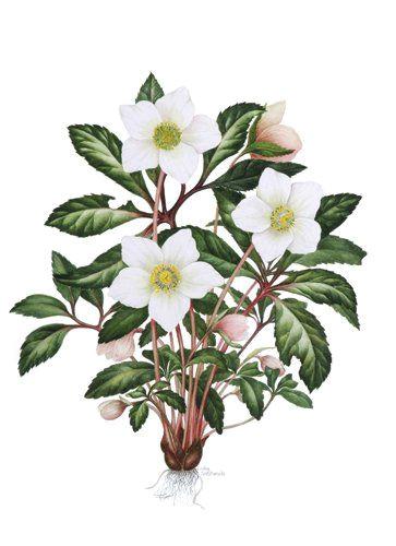 helleborus niger christmas rose a c sally crosthwaite sba christmas rose botanical drawings flourishes