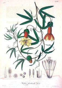 passiflora andina as rathea floribunda