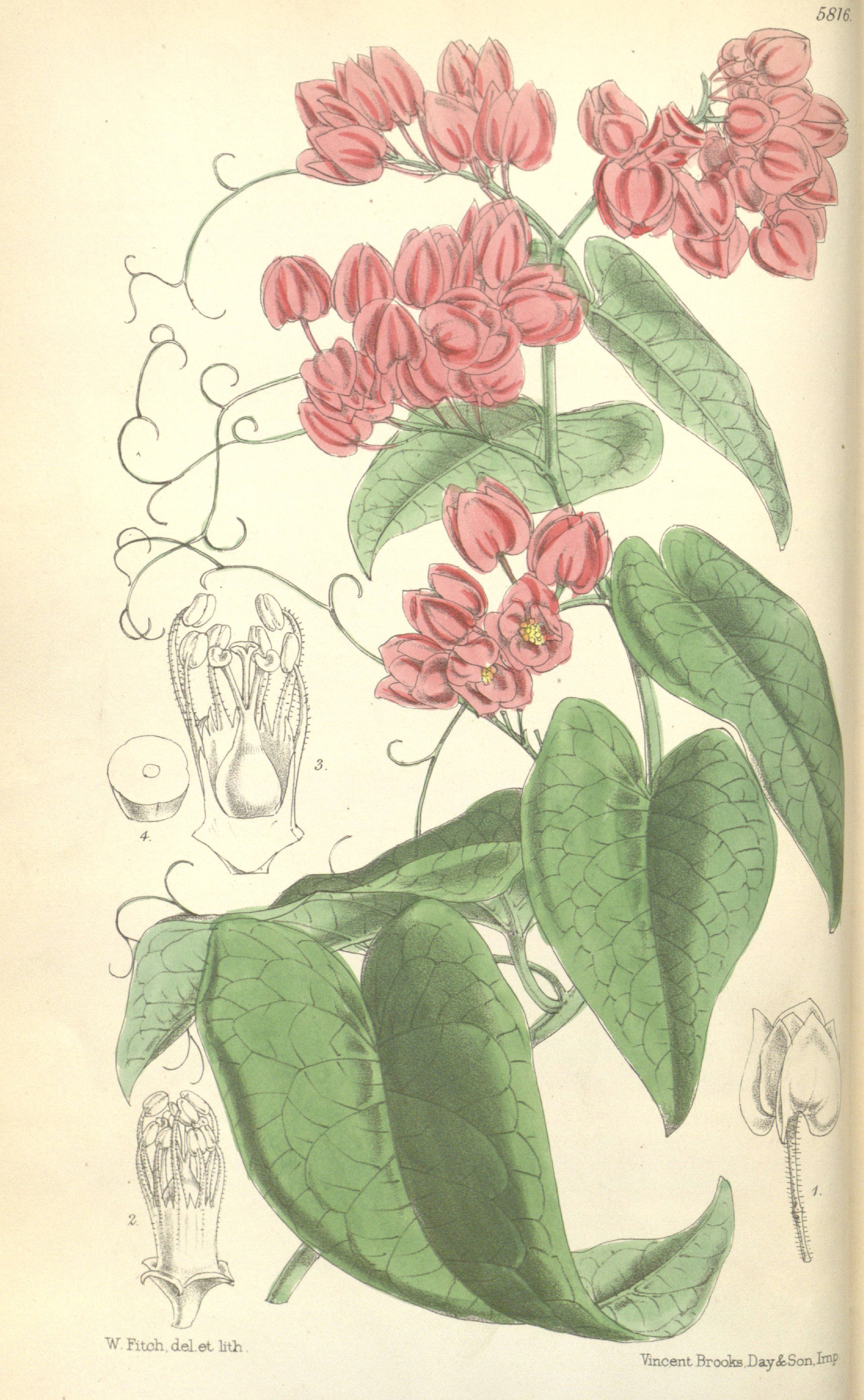 coral vine antigonon leptopus circa 1870 botanical prints botanical illustration vines
