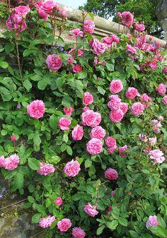 gertrude jekyll climbing rose