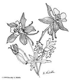 columbine flower sketch google search