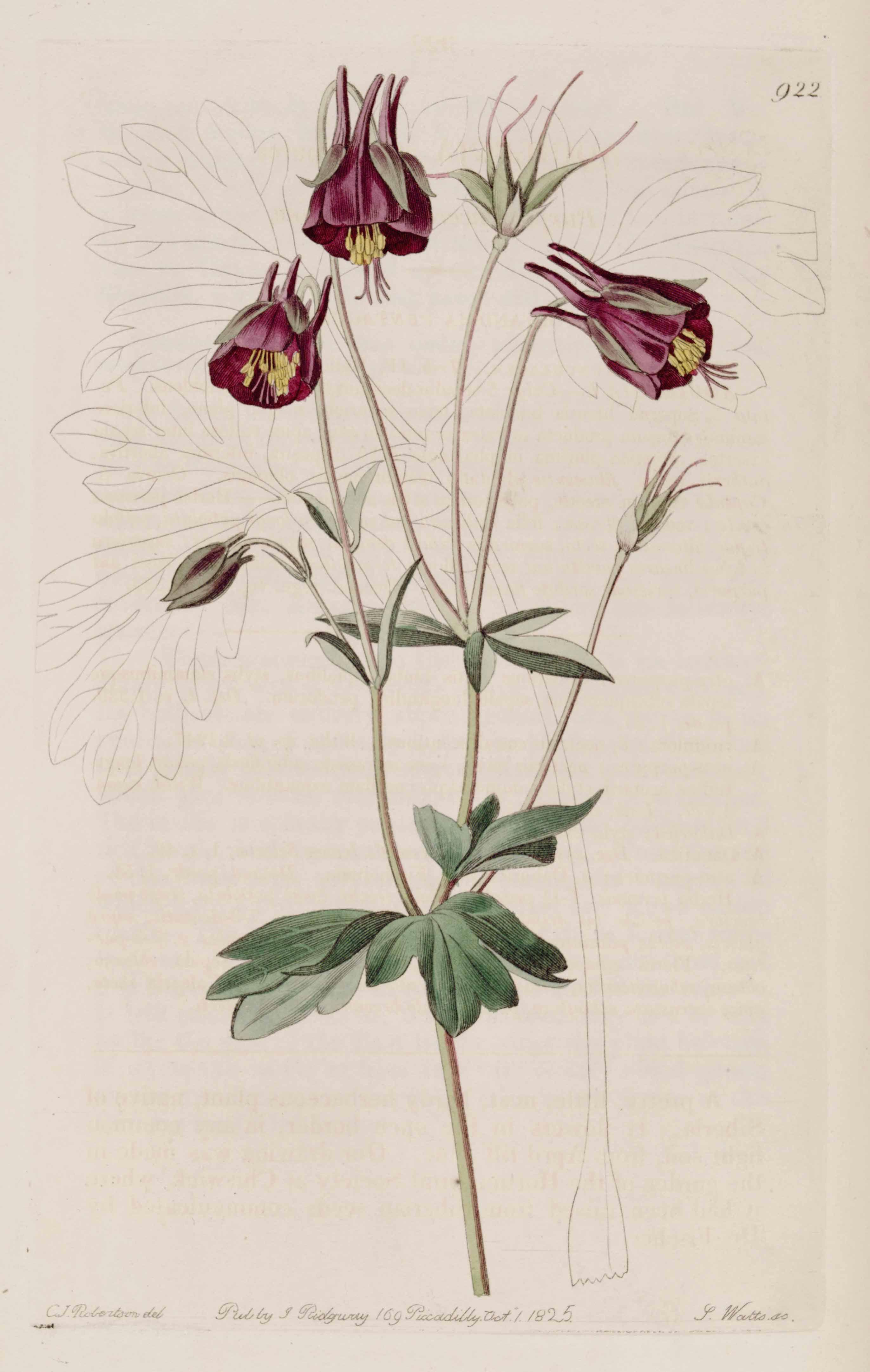 aquilegia viridiflora illustration circa 1825