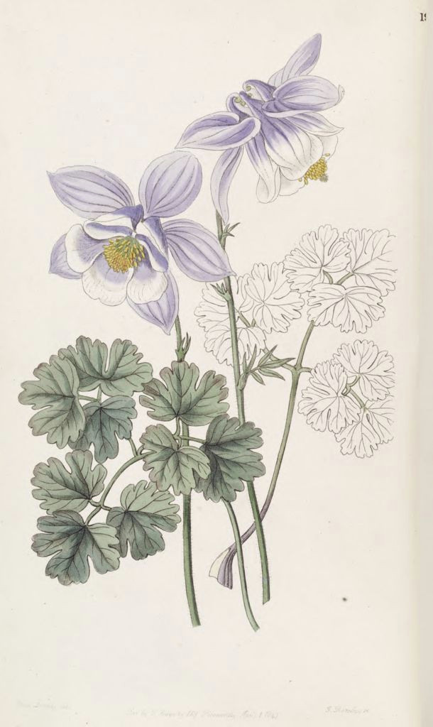 aquilegia vulgaris subsp vulgaris as aquilegia jucunda edwards s botanical register v 33 t 19 1847 s a drake