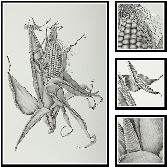 zea mays sweet corn sharon field botanical artist inspiration for botanical sketchbooks for art students at capi create art portfolio ideas
