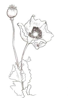 poppy flower drawing poppy flower sketch drawing poppy flower sketch fine art print