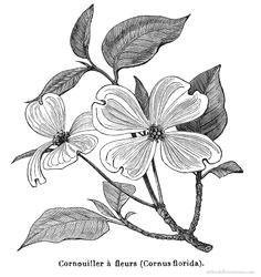 dogwood flower drawings flowering dogwood free graphics old books botanical illustration free