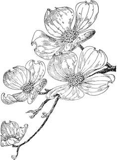 dogwood flower drawings flowering dogwood dogwood tattoo motif floral pencil drawings flower