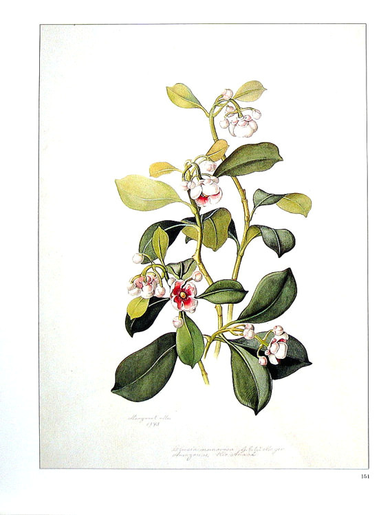 exotic flower print orchid flower clusia nemorosa