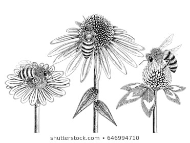 bees on honey flowers sketched in black and white vector illustration chamomile coneflower and