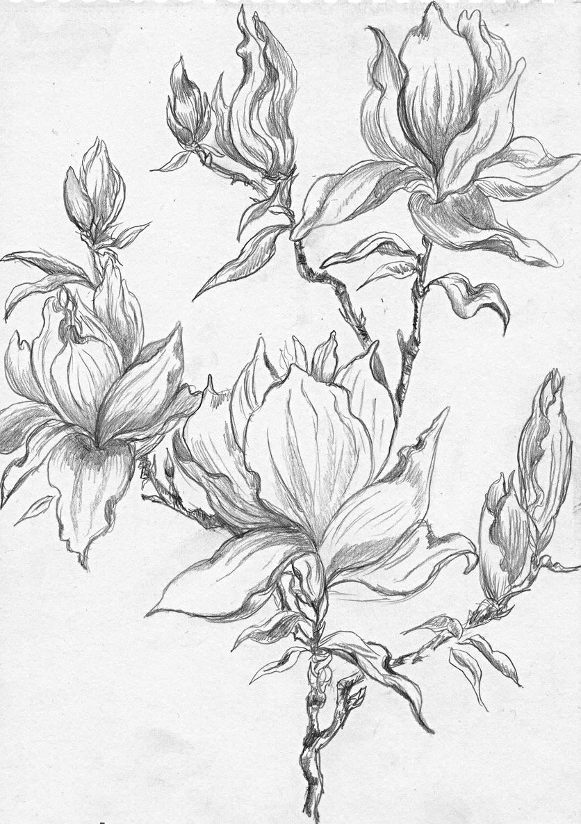 from a selection of henny s magnolia drawings and sketches
