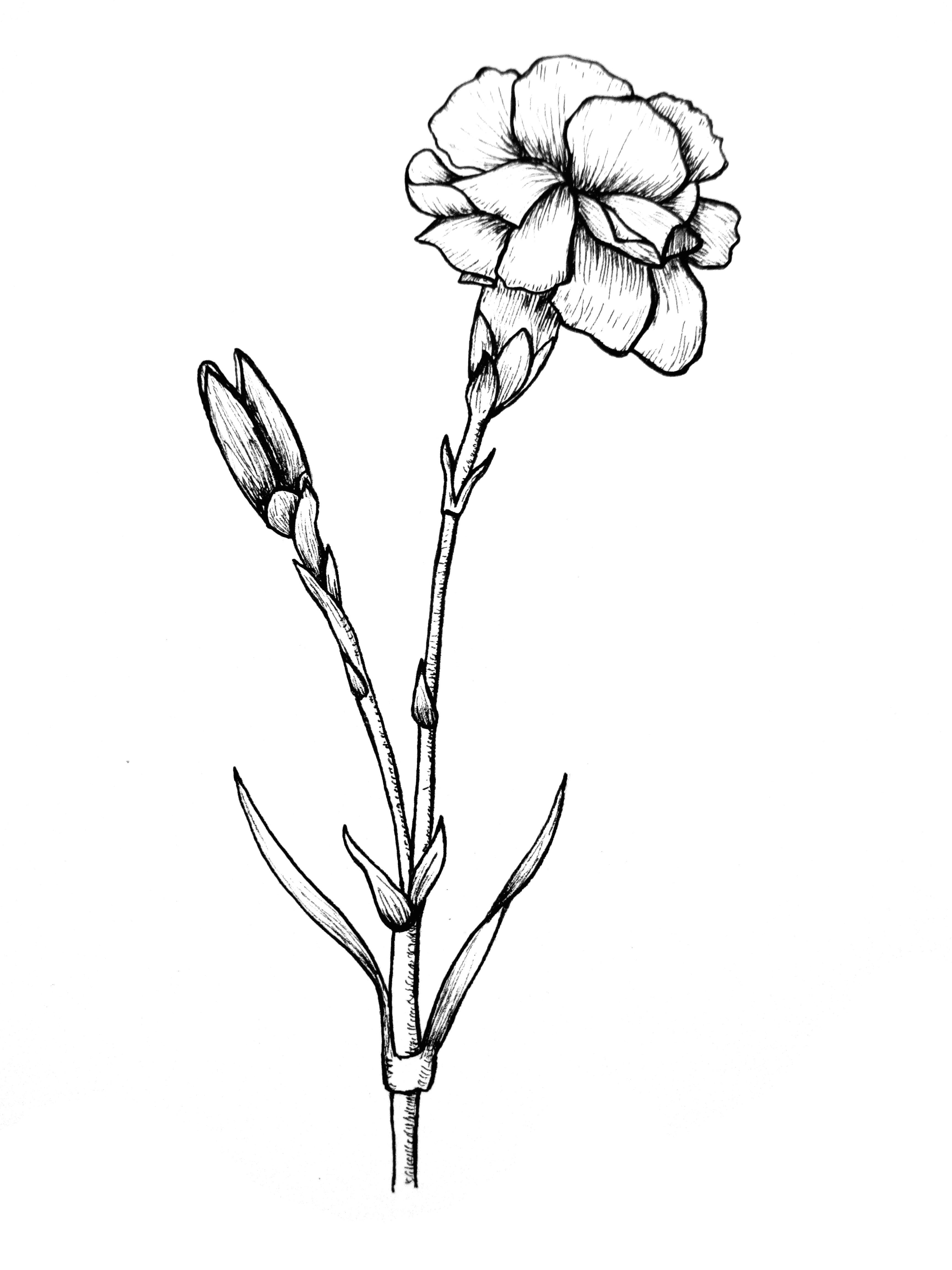 2550x3300 edelweiss flower drawing