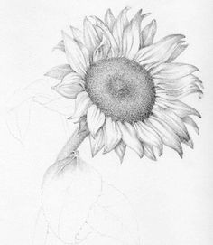 pencil drawing flowers hasso