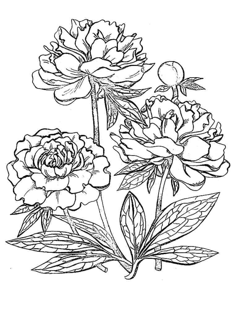 peony flower coloring pages download and print peony flower