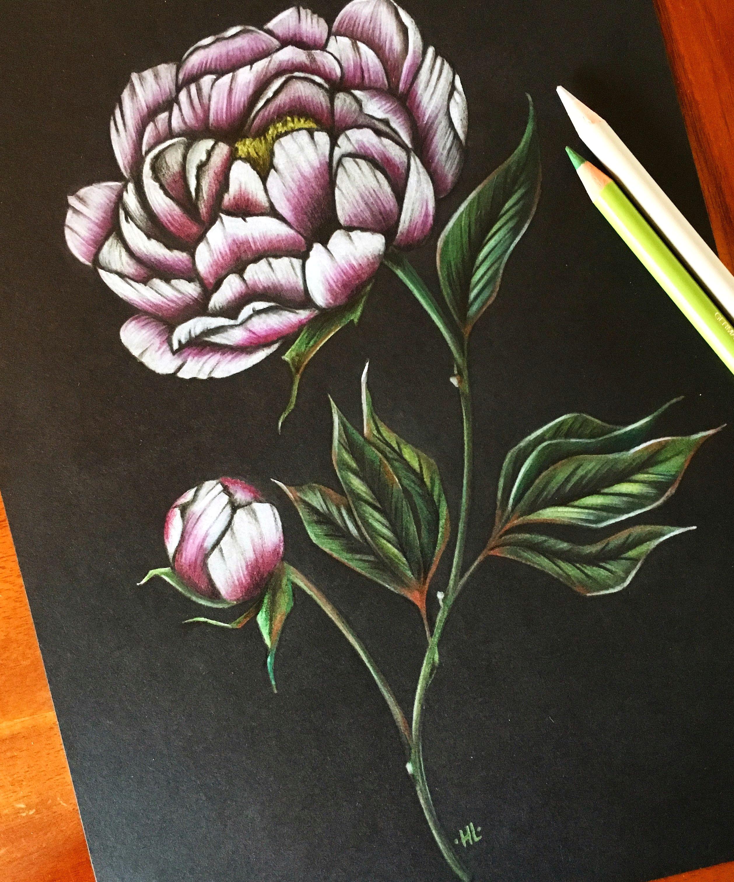 peony art peonies drawing flower pencil art coloured pencil vintage art botanical illustration