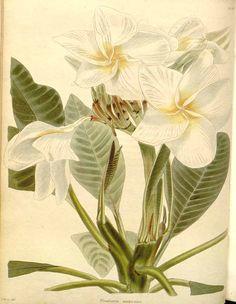 18th century botanical drawings frangipani flower google search