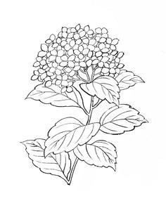 hydrangea illustration free google search
