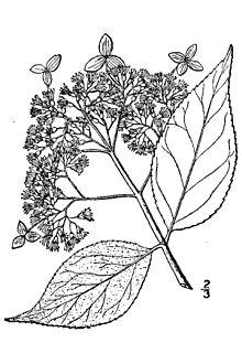 ashy hydrangea