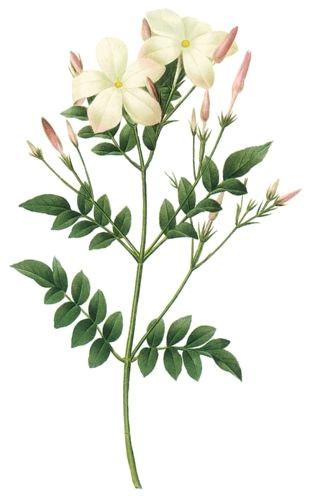 jasmine flower botanical drawing google search plus
