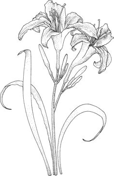 lilies coloring page judy lipscomb a flower sketch images