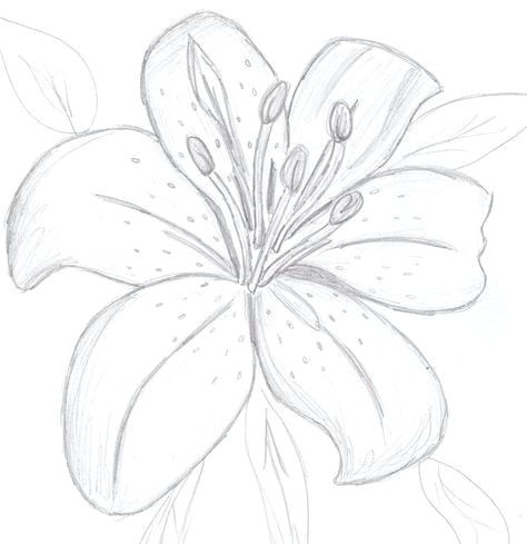 Drawings Of Lilies Flower Colourless Tiger Lily by Sunnybunny13 On Deviantart Draws