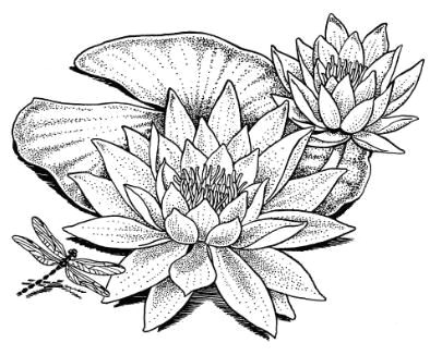 water lily drawing wonderous water lily