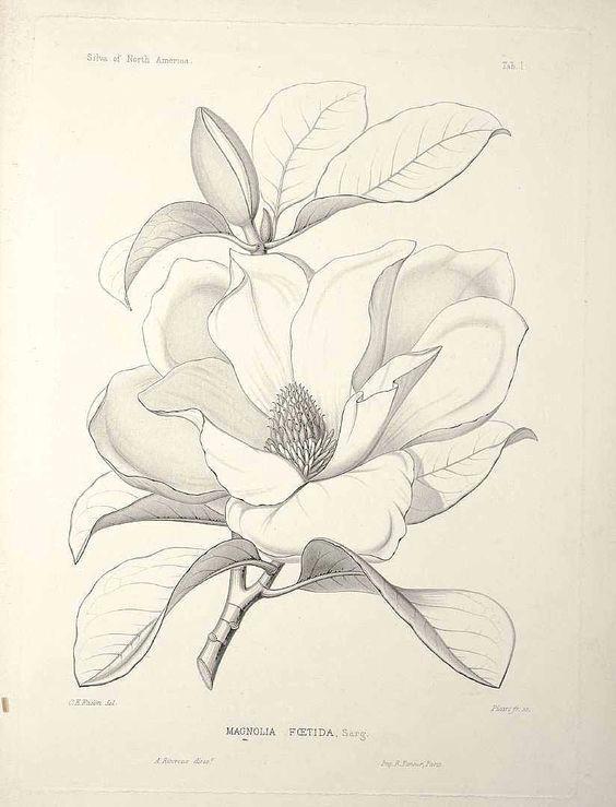 magnolia grandiflora l as magnolia foetida l sarg bull bay loblolly magnolia southern magnolia sargent c s the silva of north america vol