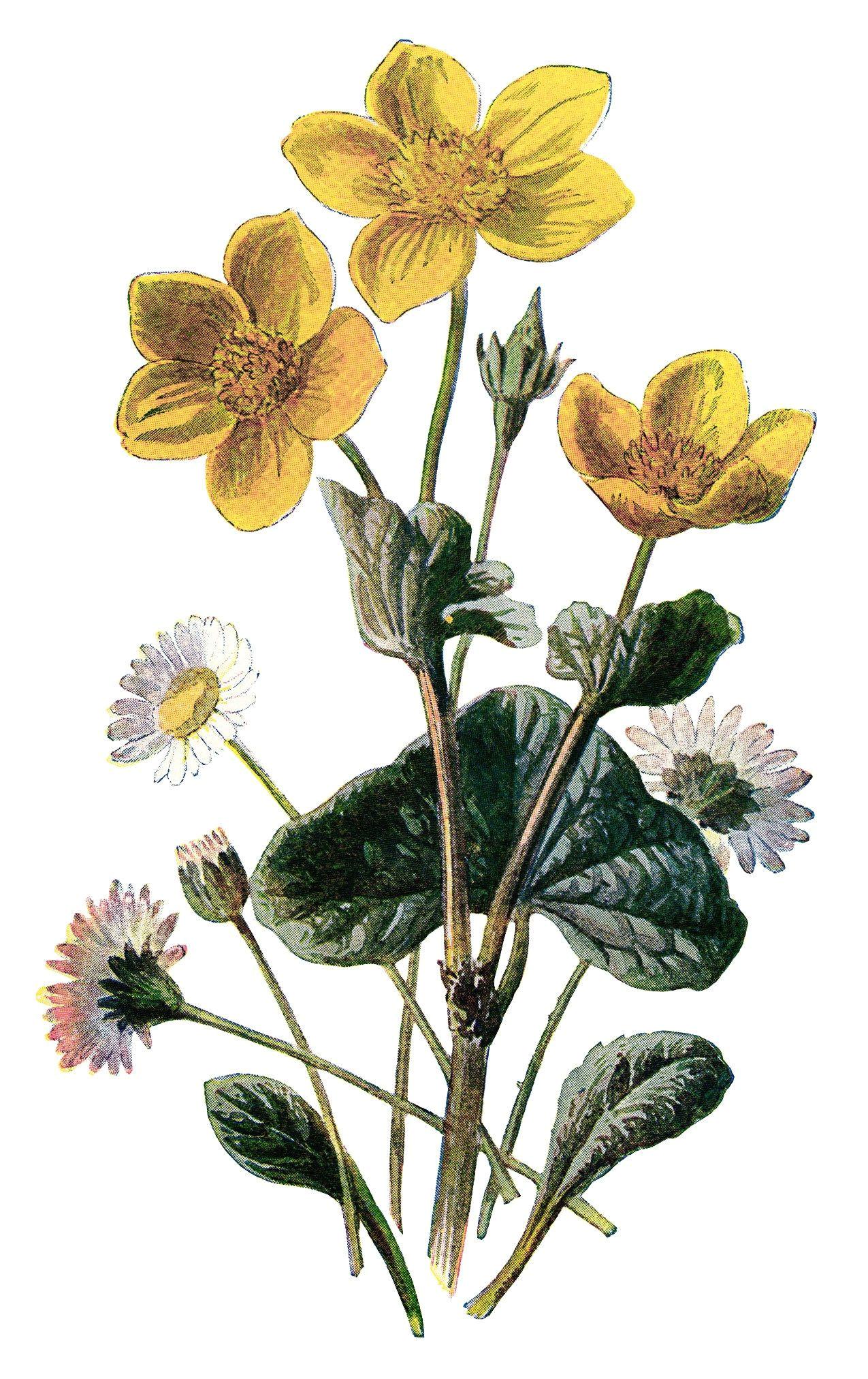 marigold clip art vintage flower illustration yellow flower floral botanical drawing frederick edward hulme