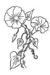 thumbnail drawing of a morning glory coloring page morning glory tattoo flower coloring pages