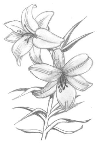 lily flowers drawings flowers madonna lily by syris darkness