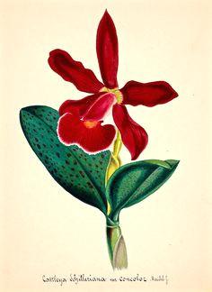 cattleya schilleriana orchid plant illustration a flower illustrations