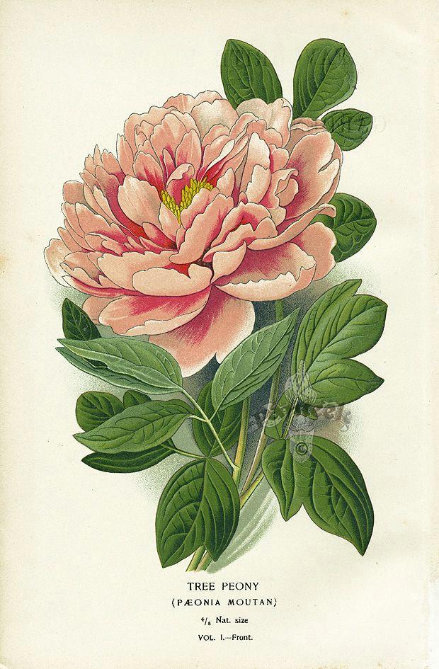 tree peony panteek is a huge online gallery of antique botanical prints