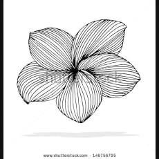 plumeria outline plumeria drawing outline original drawing of frangipani grafic art designs to draw