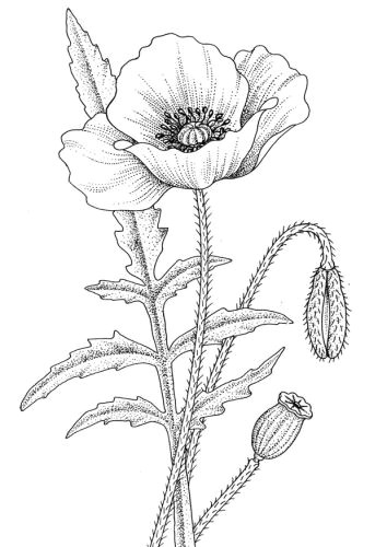 single poppy shape art coloring pages drawings flower coloring pages