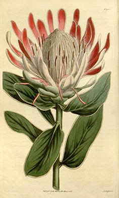 protea formosa v 41 1814 1815 curtis s botanical magazine
