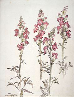 snapdragon botanical drawings botanical prints drawings of flowers flower illustrations tattoo illustrations
