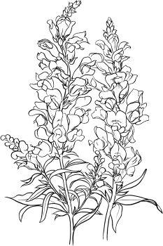 antirrhinum majus or common snapdragon coloring page super coloring flower outline antirrhinum flower