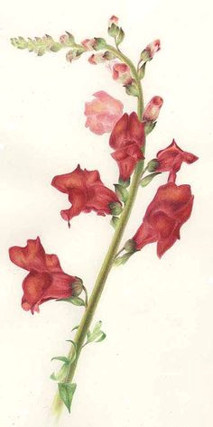 snapdragon botanical print vintage bouquet botanical tattoo botanical flowers botanical drawings